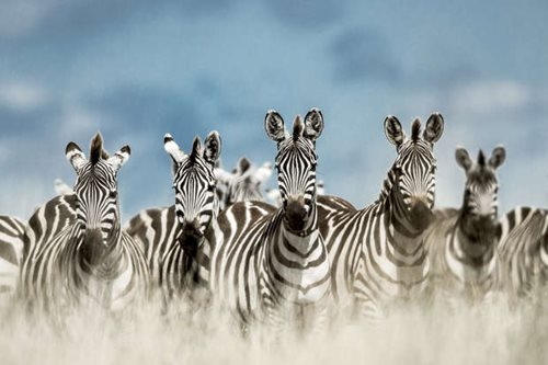 Herd of zebra on the Serengeti, Tanzania