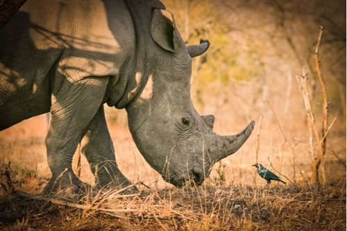 Rhino and bird in Kruger National Park, South Africa